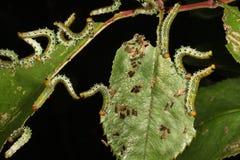 Larvas de la mosca de sierra que alimentan en la hoja color de rosa Foto de archivo