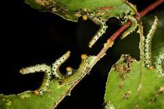 Larvas de la mosca de sierra que alimentan en la hoja color de rosa Foto de archivo libre de regalías