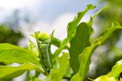 Larvas de uma borboleta que comem a planta Fotos de Stock