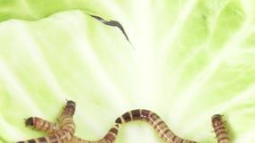 Larvas de Zofobas na couve vídeos de arquivo