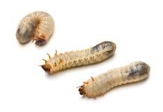 Larvas del escarabajo fotografía de archivo