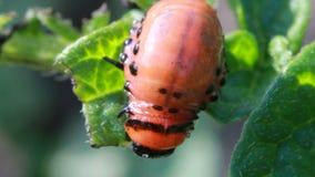 Larvas del escarabajo de la patata almacen de video