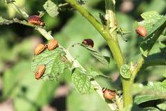 Larvas del escarabajo de la patata Foto de archivo