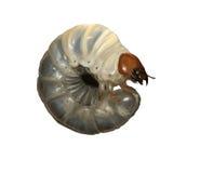 Larvas del escarabajo de macho stock de ilustración