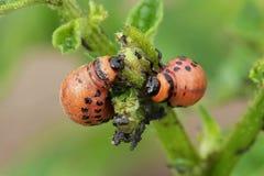 Larvas del escarabajo de patata de Colorado Foto de archivo libre de regalías