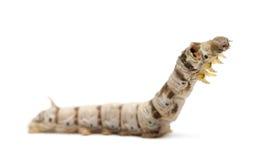 Larvas del gusano de seda, mori del bómbice foto de archivo