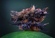 Larvas del insecto de la tortuga imagen de archivo