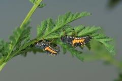 Larvas del Ladybug fotografía de archivo libre de regalías