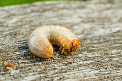 Larvas do besouro Foto de Stock Royalty Free