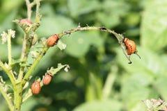 Larvas do besouro de Colorado Imagem de Stock Royalty Free
