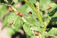 Larvas do besouro de Colorado Fotografia de Stock Royalty Free
