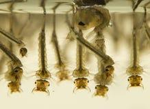 Larvas do mosquito Fotografia de Stock Royalty Free