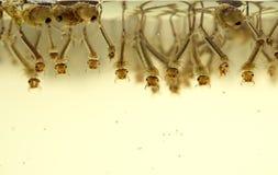 Larvas do mosquito Imagem de Stock Royalty Free