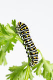 Larvas negras grandes de la mariposa del swallowtail Imagen de archivo