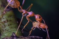 Larvas que llevan de la hormiga roja del trabajador Imagen de archivo libre de regalías