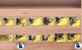 Larvas salvajes de los bicornis de Osmia de la abeja en hotel del insecto mire en nes del aa Foto de archivo