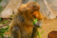 Larvatus do Nasalis do macaco de probóscide endêmico de Bornéu Retrato masculino com um nariz enorme imagens de stock royalty free
