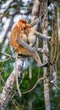 Larvatus femenino del Nasalis del mono de probóscide con un cachorro Imagen de archivo