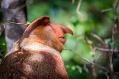 Larvatus maschio del Nasalis della nasica Fotografia Stock