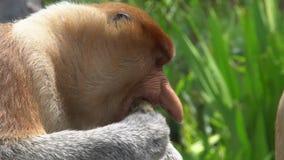 Larvatus maschio del Nasalis della nasica che mastica alimento animale endemico pericoloso del Borneo stock footage