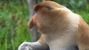 Larvatus masculino del Nasalis del mono de probóscide que mastica la comida animal endémico en peligro de Borneo almacen de metraje de vídeo
