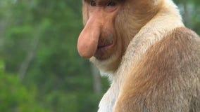 Larvatus masculino del Nasalis del mono de probóscide que rasguña la nariz animal endémico en peligro de Borneo almacen de video