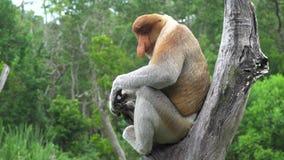 Larvatus masculino del Nasalis del mono de probóscide que se sienta en rama de árbol animal endémico en peligro de Borneo almacen de metraje de vídeo