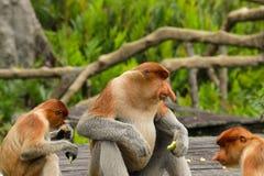Larvatus Nasalis обезьяны хоботка во время времени кормления стоковые фото