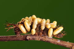 larve image libre de droits