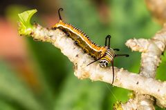 larve Photographie stock