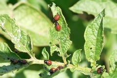 Larve d'insecte de pomme de terre dans des feuilles de pommes de terre Image libre de droits