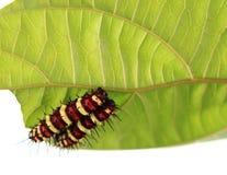 Larve d'un papillon Photos libres de droits