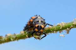 Larve de coccinelle mangeant l'aphis photo stock