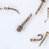 Larve de moustique photo stock