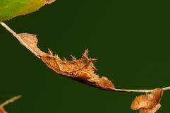 Larve de papillon, philyra de Neptis Image libre de droits