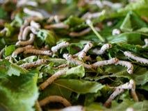 Larve del baco da seta che si alimentano le foglie del gelso Immagini Stock Libere da Diritti