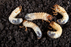 larve dell'Maggio-insetto nei precedenti del suolo Immagini Stock