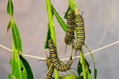 Larve della farfalla di monarca fotografie stock libere da diritti