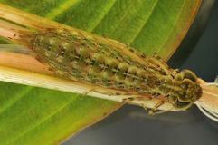 Larve della libellula dell'imperatore Fotografia Stock Libera da Diritti