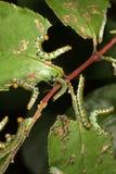 Larve della tentredine della Rosa Fotografia Stock