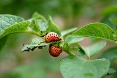 Larve dello scarabeo di patata del colorado sulla patata Fotografia Stock Libera da Diritti