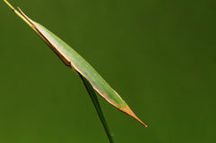 Larve der Basisrecheneinheit auf Zweigtat wie einem Blatt Penthema adelma Stockfotografie