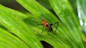 Larve der Heuschrecke auf Blättern stock video footage