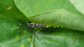 Larve des Marienkäfers auf Blättern stock video