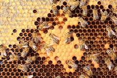 Larve e bozzoli degli api Immagine Stock Libera da Diritti