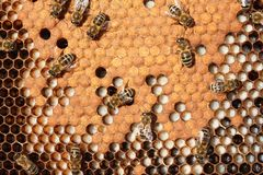 Larve e bozzoli degli api Fotografia Stock