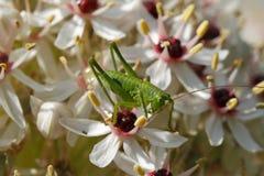 Larve eines großen grünen Bush-Kricket Tettigonia-viridissima lizenzfreie stockfotos