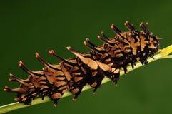 Larve van vlinder/aeacus Troides/bruin royalty-vrije stock afbeeldingen