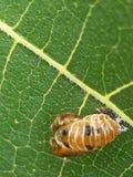 larven av krypet på bladet av ett trädslut upp royaltyfria bilder