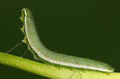 Larven fattar på, den Anthocharis scolymusen Arkivfoto